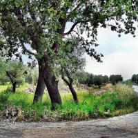 """Il Coordinamento Civico di Maglie insiste: """"La strage di ulivi non è un'invenzione"""""""