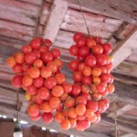 """Pomodori """"de pendula"""" in festa a Uggiano"""