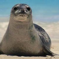 """Gli ambientalisti: """"Facciamo tornare la foca monaca nel Salento"""""""