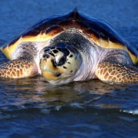 Salvata tartaruga in difficoltà nei pressi di San Foca