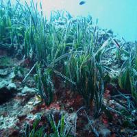 Il ripascimento della posidonia salverà le coste dall'erosione