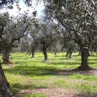 Salvi gli ulivi secolari