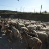 Un branco di cani randagi ha assaltato la masseria Tumara uccidendo cinque pecore gravide