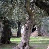 """Grande vittoria per gli ambientalisti pugliesi, la legge """"ammazza ulivi"""" è stata modificata"""