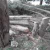 Maglie, taglio di conifere: quale futuro?
