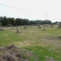Gli ulivi espiantati resteranno nel Salento
