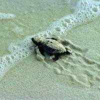 Otranto, recuperate due tartarughine