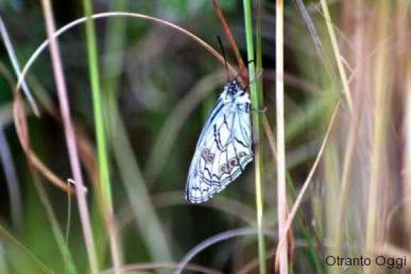 FarfallaPalacia